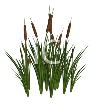 Royalty Free Clipart Image of Cattails