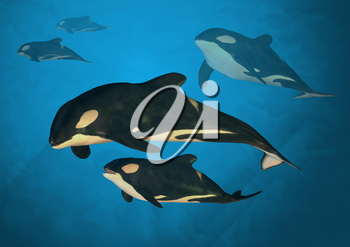 A family of orca whales swimming in the ocean.