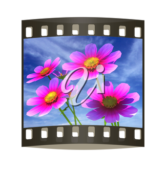 Beautiful Cosmos Flower against the sky. The film strip