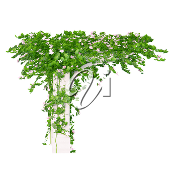 Side view of the wooden pergola with roses and leaves kind of ivy plant