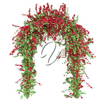 Bushes of red roses with green leaves on a white background. Arch with flowers pergola