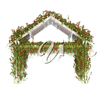 Wooden pergola with white bushes of red roses. Climbing roses on a white background