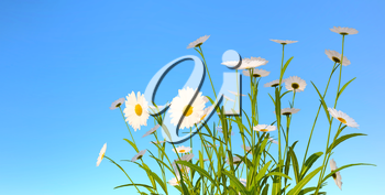 white daisies on blue sky background, 3D illustration